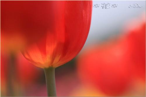 チューリップ_0088